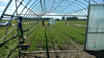 Weeding the hoop house