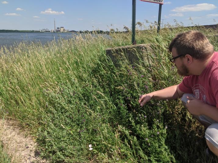 Feral alfalfa